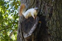More often than not, squirrels are seen digging up acorns and climbing trees a lot around this time of year. But rarely does anyone see this albino squirrel, one of two white-furred squirrels at Iowa State.